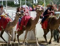 Camels racing in Virginia City, Nevada, at the annual September Races.