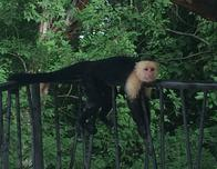 Capuchin monkey relaxing at the Andaz Peninsula Papagayo Resort.
