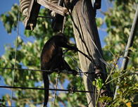 Howler Monkey on Power Line Pole in the Morning