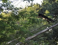 Howler Monkey Jumping from Power Line to Tree
