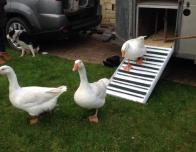 Ducks Disembark