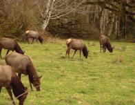 Elk Grazing at the Hoh Rainforest, By Anastacia 12182 Own work. Licensed under GFDL via Wikimedia Commons
