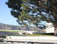 An image of a doe eating some grass on the mountain that leads to the Getty Art Museum in Los Angeles, CA.