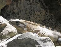 Keep an eye out for Iguanas in Playa del Carmen