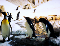 Penguin in Arctic Habitat at Biodome of Montreal. Photo by Sean O'Neill