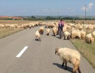 Sheep traffic jam!