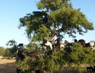 Goats climbing the Argan Tree www.sahara-desert-crew.com