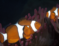 Clownfish seen at the Great Barrier Reef; photo by Lincoln Fowler/Tourism Australia.