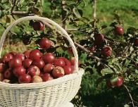 Apple picking is a timeless family activity, and these U Pick farms make it fun.