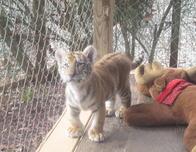 Tiger World cub on display in Charlotte, North Carolina.