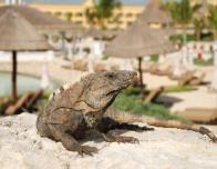 Aventura_Cove_Iguana_470419209