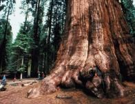 Whereever you have a chance to see a redwood forest, stop!