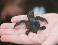 Newborn Turtle In My Hand