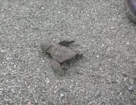 Baby Turtle on His Way to the Sea