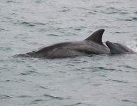Dolphins in Golfo Dulce