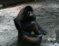 Monkey at Osa Wildlife Sanctuary
