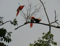 Macaws in the Trees at Lapa Rios