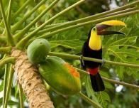 Toucan at Lapa Rios