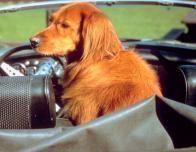 Dog_in_car_333063956