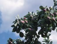 Most orchards provide poles to pick the highest fruit.