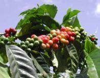 jamaica_blue_mountain_coffee_730469512
