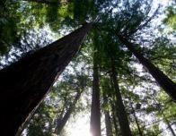 california_john_muir_sequoias_382744834