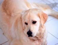 golden_Retriever_596374210