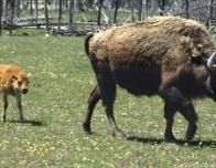 lone_mountain_buffalo_940732021