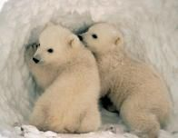 polarbears2_287382277