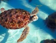 sea_turtle_in_water