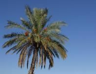 top_of_palm_tree_blue_sky