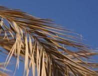 withered_palm_leaves_blue_background