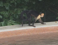 Monkey by the pool at the Andaz Peninsula Papagayo Resort.