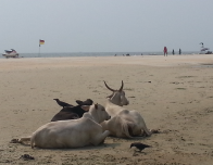 Cows enjoy the cool breezes at Colva Beach in Goa.