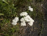 White Yarrow along the Trail at Temperance River_1