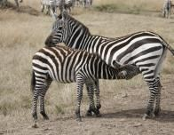 Mother and Her Zebra Cub