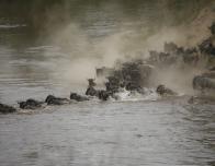Wildebeest Cross the River