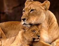 africa-lions-safari