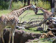 dallas-zoo-giraffe-family