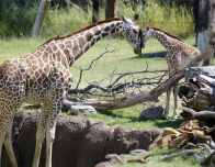 dallas-zoo-giraffe-family_0