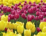Tulip Fieldd dominate the landscape of Holland in spring.