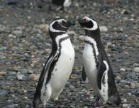 magellanic_penguins