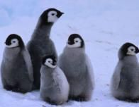 Adopt this Emperor Penguin Family from the World Wildlife Fund