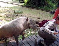 Suddenly, The Wild Boar Lunged Forward!