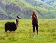 Llama sighting while hiking in the Andes