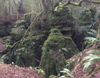 Mossy Trees in Puzzlewood