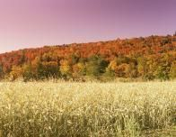 New Jersey Corn Field