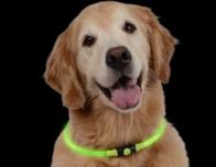 Golden Retriever wears Niteize illuminated dog collar. Photo c. Niteize.com