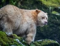 The spirit bear of BC's Great Bear Rainforest; photo Jon McCormack, courtesy of Nature.org