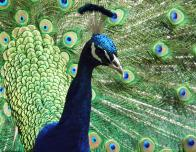 See the majestic peacocks at Flamingo Gardens